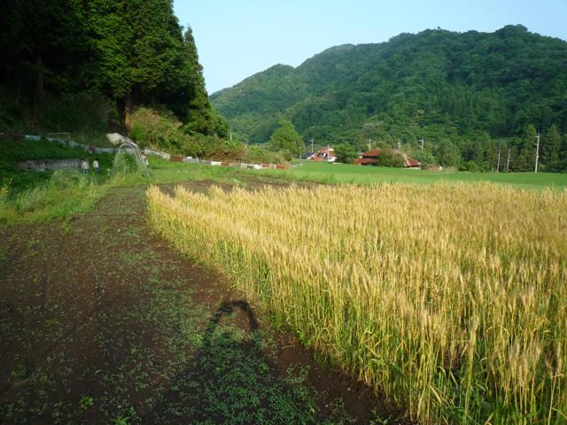 自給用の小麦です