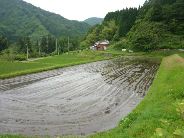 田植え後の田んぼ