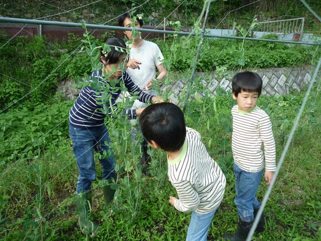 家族でエンドウの収穫
