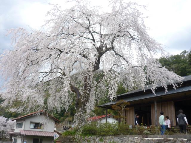 家の向い、桜の名所・前川桜